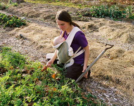 Carrot Harvest, Temple, Maine